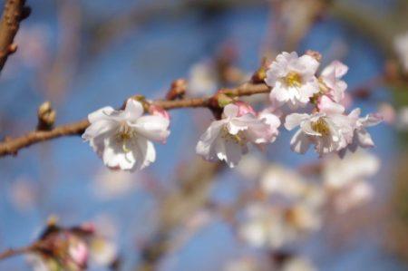 Prunus subhirtella 'Autumnalis' © Isabelle van Groeningen