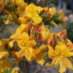 Rhododendron lut. 'Klondyke' © Isabelle van Groeningen