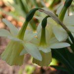 Narcissus 'Lemon Drop' © Isabelle van Groeningen
