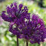 Allium Purple Sensation © Isabelle van Groeningen