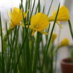 Narizissen - Narcissus bulbocodium 'Golden Bells'© Isabelle van Groeningen