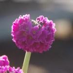 Primula denticulata 'Rubin' © Isabelle van Groeningen