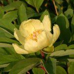 Paeonia mlokosewitchii Blüte © Isabelle van Groeningen