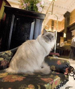 matilda the Algoquin Hotel ragdoll cat