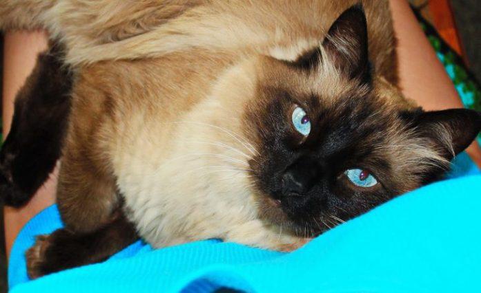 ragdoll cat mitten