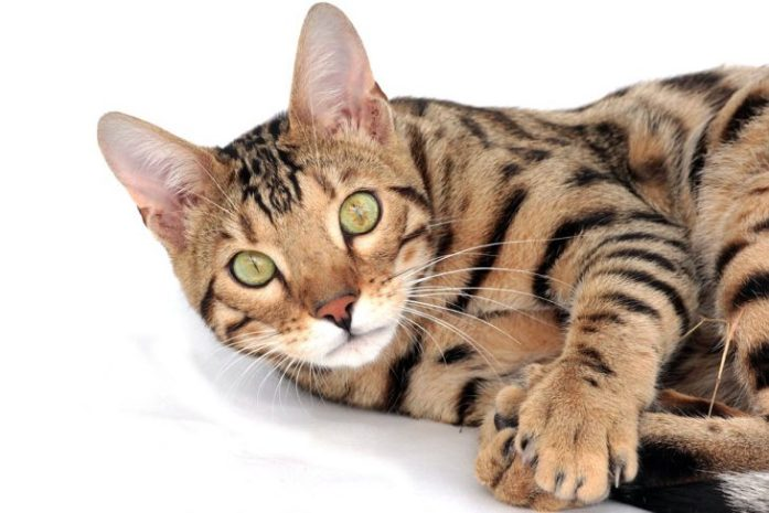 bengal cat closeup