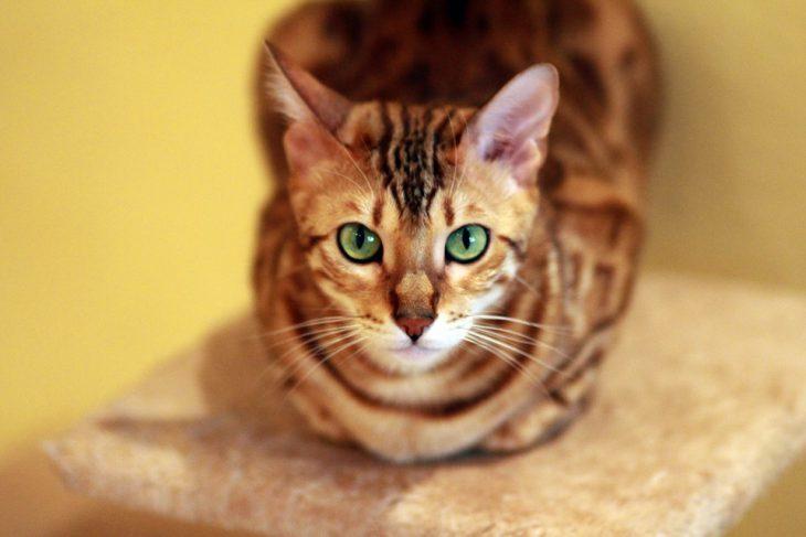 bengal cat sitting