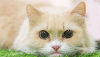 Introduction To Cat Breeds - Ragdoll Cat - Kohepets Blog