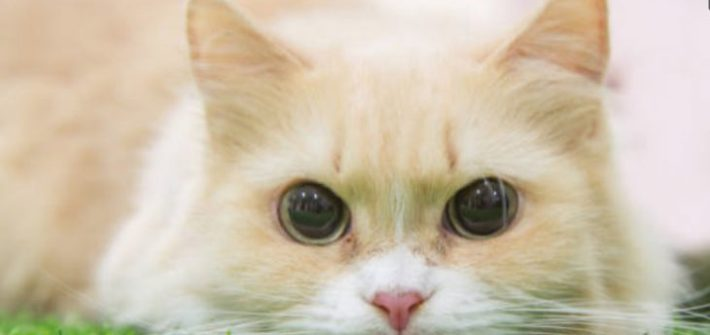 munchkin cat closeup