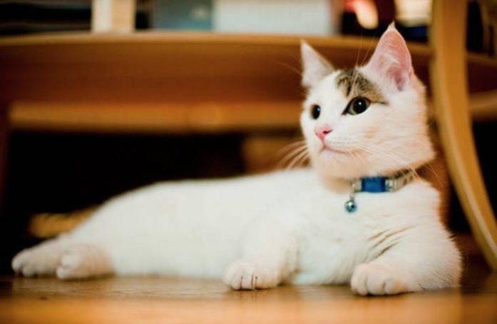 munchkin cat relaxing
