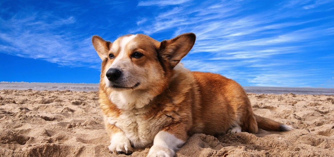 Corgi at beach