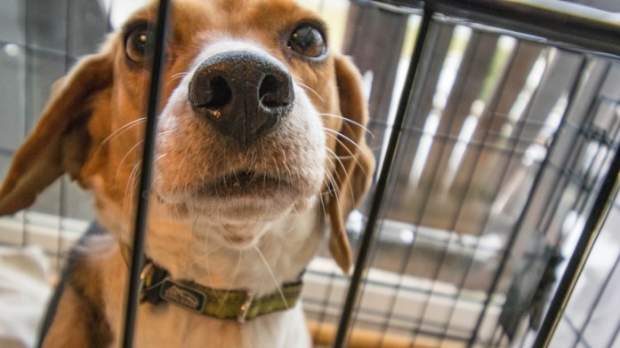 beagle at the shelter