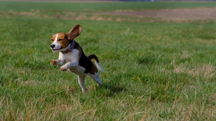 happy beagle running across a field