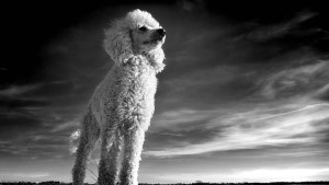 Hypoallergenic dog breed -poodle black and white