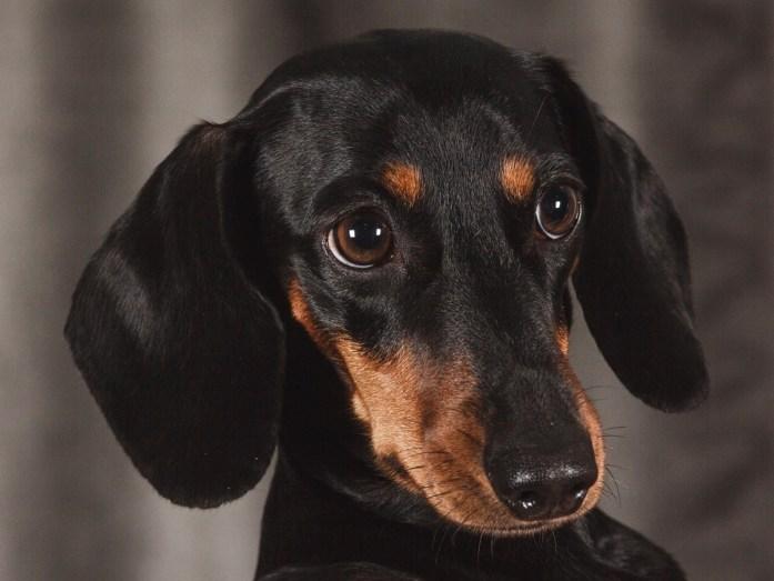portrait of a black dachshun breed