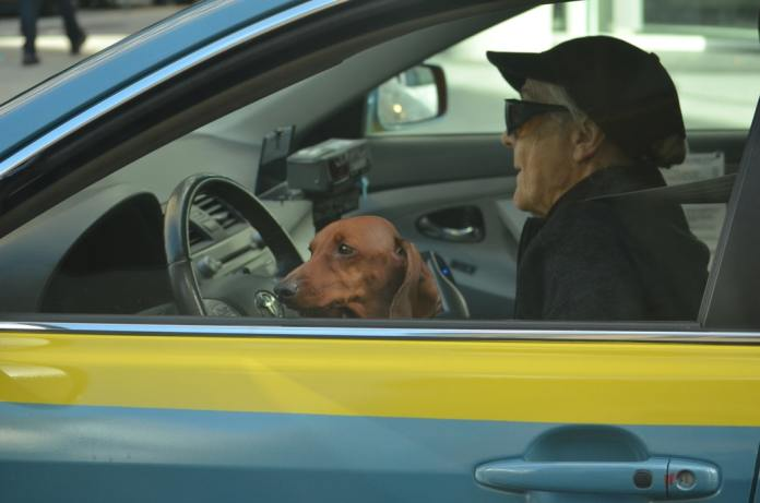 brown dachshund breed with owner in the car
