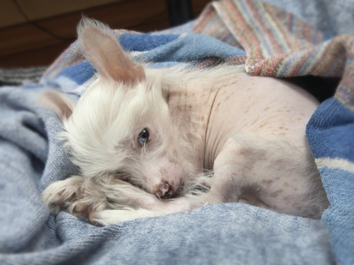 Hypoallergenic dog breed -chinese crested breed