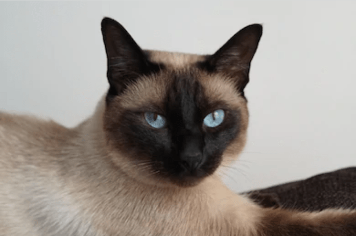 tonkinese blue eyes
