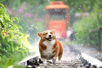 Corgi having fun