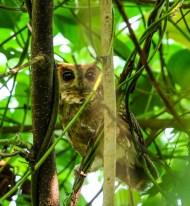 Indian Scops-Owl © SRINILA MAHESH K T