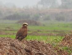 Eurasian Marsh-Harrier © Kausthubh K Nair