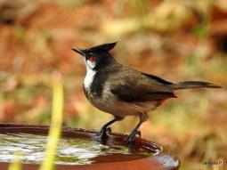 ഇരട്ടത്തലച്ചി (Red-whiskered Bulbul)