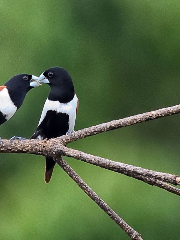 Courtship Feeding by Tricoloured Munias