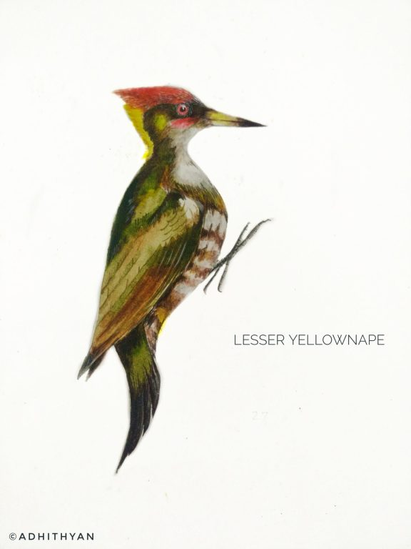 #10- Lesser Yellownape