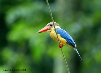 Stork-billed Kingfisher by Sujeesh P