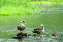 Indian Spot-billed Duck by Sujeesh P