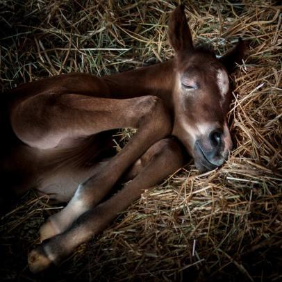 A newborn foal (baby horse) sleeping