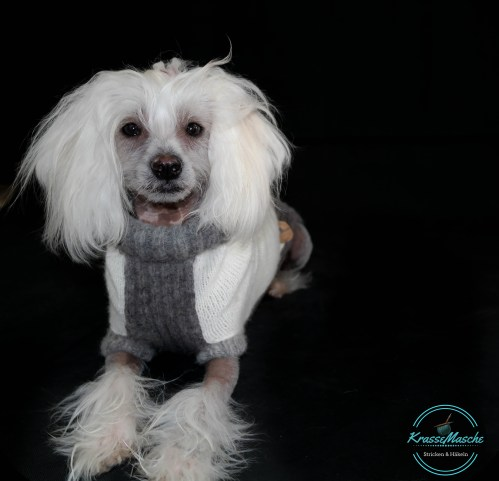 Nackthund mit Pullover chinesischer schopfhund