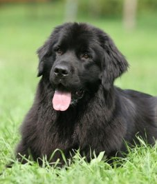 black-dog-in-grass