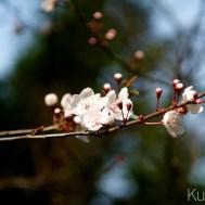 1월임에도 벚꽃망울이...