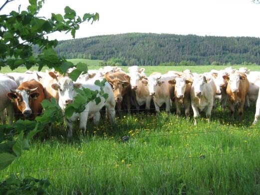 Lustig daherschauende Kühe