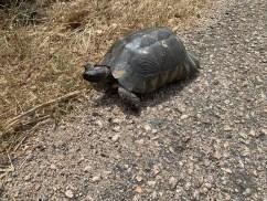 Schildkröte am Wegesrand