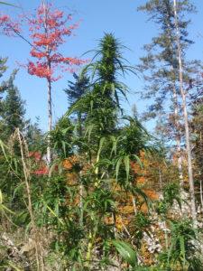 2018 Hemp Harvest – Biomass Pricing Trends -