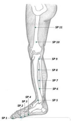 Spleen Meridian Leg