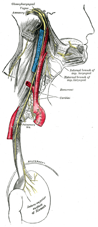 Vagus Nerve Which Pressure Points Make you Faint? Why?