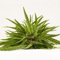 Isolation thermique : choisir un isolant d'origine végétale