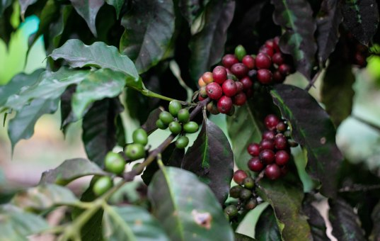 haiti-coffee-cherries