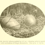 huevos grulla