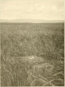 Nido de grulla con 2 huevos fotografiado en la janda por Verner en mayo de 1906.
