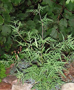 Ambrosia_artemisiifolia_10444