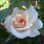 WINTER ROSE CARE & PLANTING NEW ROSES