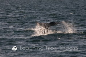 The Gray Whales of Long Beach