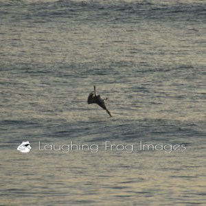 Pelican Perception Put to Rest