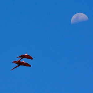 Fly me to the moon.  Scarlet Macaws, Jaco, CR