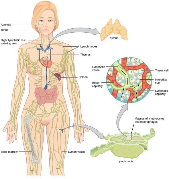 Female Groin Lymph Node Diagram