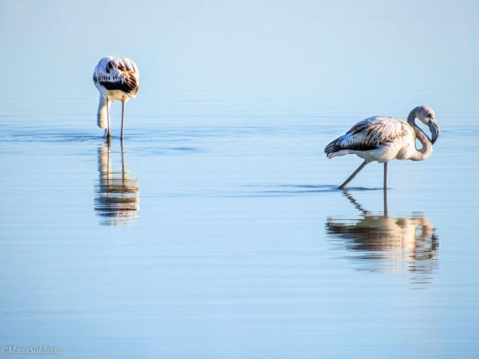 Pink flamingos in Lefkada lagoon